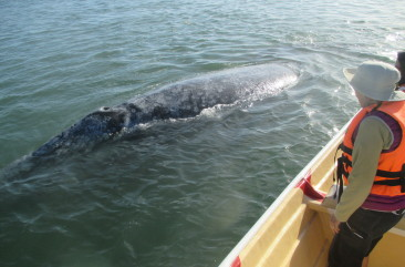 Coroscos Tour - Grey Whale Visit