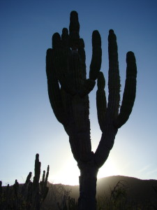 The cardón cactus reaches up into the Baja skies.