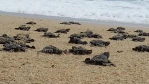 Baby turtles crawling towards the sound of the ocean