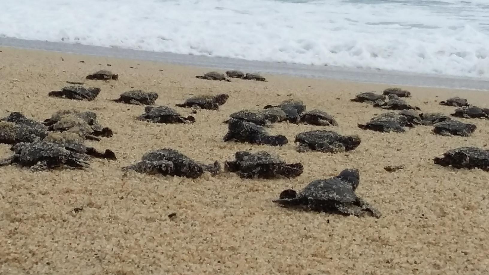 Watch the baby sea turtles released from sanctuaries in todos santos baby turtles crawling towards the sound of the ocean sea turtle release publicscrutiny Gallery